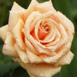 Yellow roses in the garden. Stock Photos