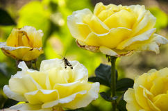 Yellow roses on the green background Stock Image