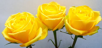 Yellow roses with green leaves Stock Photo