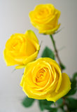 Yellow roses with green leaves Stock Images
