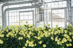 Greenhouse with rose flowers. Yellow roses in a greenhouse indoors on the background of pipes, close-up royalty free stock images