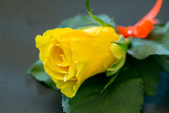Yellow Roses For the groomsman. Yellow Roses For the groomsman in the wedding royalty free stock photography