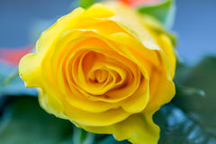 Yellow Roses For the groomsman. Yellow Roses For the groomsman in the wedding royalty free stock photo