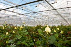 Yellow roses growing inside a greenhouse Royalty Free Stock Photography