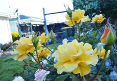 Yellow roses in home rose garden Royalty Free Stock Photos