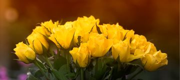 Yellow roses (huge file) Stock Photo