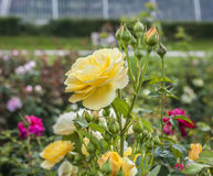 The yellow roses. Royalty Free Stock Photography