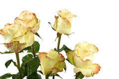 Yellow roses isolated Stock Photography