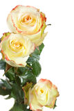 Yellow roses isolated Stock Photo