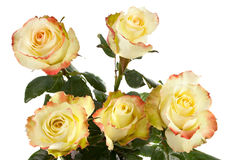 Yellow roses isolated Royalty Free Stock Photo