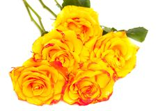 Yellow roses isolated Stock Images