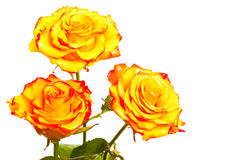 Yellow roses isolated Royalty Free Stock Photography