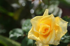 Yellow roses and light from the morning sun. Royalty Free Stock Images
