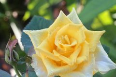 Yellow roses and light from the morning sun. Royalty Free Stock Photography
