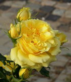 Perfume. Flower fragrance. The most fragrant yellow roses in the garden Stock Images