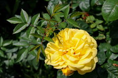 Summer background. Perfumed flower in the sunlight. Yellow roses in the garden Royalty Free Stock Photo