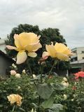 Yellow Roses. Lovely Yellow Roses Royalty Free Stock Photo