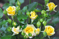 Yellow Roses Outdoor, Many Flowers Royalty Free Stock Photography