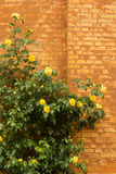 Yellow roses over brick wall Royalty Free Stock Photo