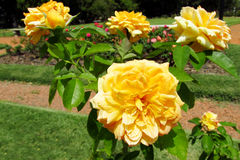 Yellow roses in the park Royalty Free Stock Images