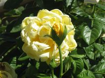 Yellow roses. A picture of two yellow roses in different stages of life taken during a walk in a garden in Madrid on vacation in the summer Royalty Free Stock Photos
