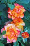 Yellow roses with pink edges Royalty Free Stock Image
