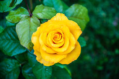 Yellow roses after the rain. Stock Photo