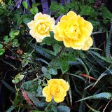 Yellow roses. With raindrops Royalty Free Stock Photo
