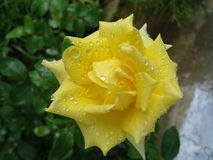 Yellow Roses. Yellow rose with raindrops and dew reflecting freshness and natural aroma Royalty Free Stock Photos