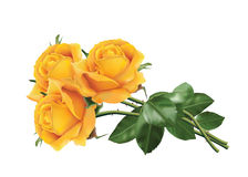 Yellow roses. Three beautiful yellow roses isolated on the white background Royalty Free Stock Photography