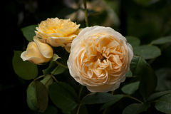 Yellow Roses. Three yellow roses (genus: Rosa) and foliage Royalty Free Stock Photos