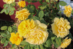 Yellow roses. Vibrant yellow roses surrounded by green leaves Stock Image