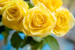 Yellow roses with water drops on it Stock Photo
