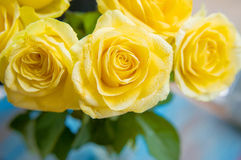 Yellow roses with water drops on it Royalty Free Stock Images