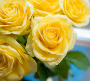 Yellow roses with water drops on it Royalty Free Stock Image