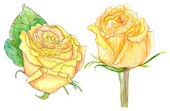 Yellow roses, watercolor painting on white. Illustration of two watercolor yellow roses on white background stock illustration