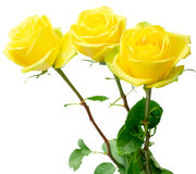 Yellow roses on white. Yellow roses with green leaves. Isolation on white background. Shallow DOF Stock Image