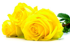 Yellow roses on white Stock Image