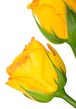 Yellow roses on the white Royalty Free Stock Images