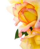Yellow roses on the white Royalty Free Stock Photo