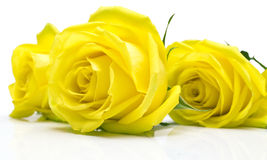 Yellow roses on white Royalty Free Stock Photo