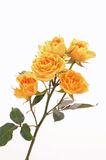 Yellow Roses on White Background (vertical) Stock Image