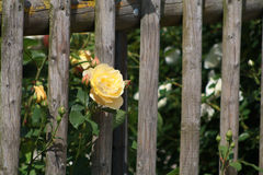 Yellow roses on wooden fence. Yellow roses growing in a cottage garden on a vintage wooden fence Royalty Free Stock Image