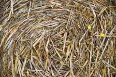 Yellow round bale of straw. Stock Images