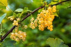 Yellow Round Berries during Daytime Royalty Free Stock Photos
