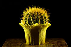 Yellow round cactus gift wrapped Royalty Free Stock Image