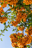 Yellow rowan. Abundant harvest of yellow and orange mountain ash on the branches against the blue sky Stock Photo