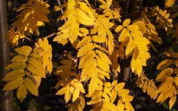 Yellow rowan leafs in autumn in sunlights royalty free stock photography