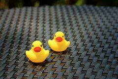 Yellow rubber duck on a background of black wooden. Stock Photos