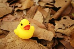 Yellow rubber duck on background of brown leaves. Royalty Free Stock Image